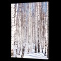 Birches in Winter